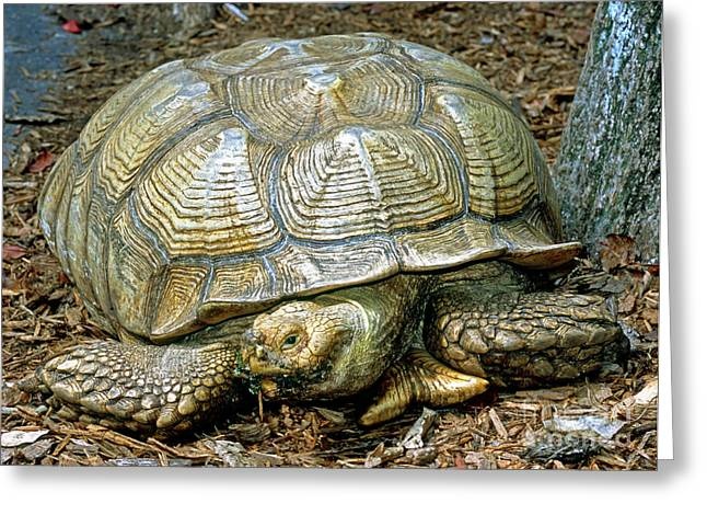African Spurred Tortoise Greeting Card by Millard H. Sharp