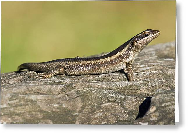 African Striped Skink On A Rock Greeting Card by Science Photo Library