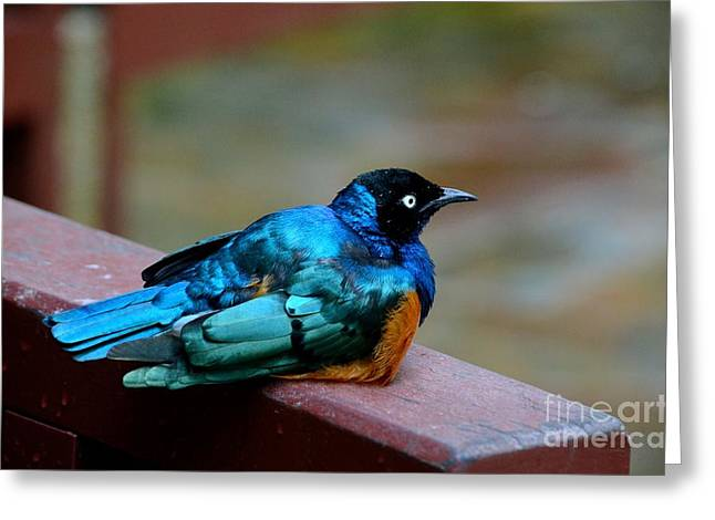 African Superb Starling Bird Rests On Wooden Beam Greeting Card
