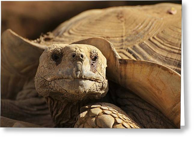 African Tortoise Greeting Card
