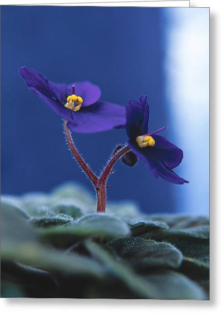 Greeting Card featuring the photograph African Violet by Lana Enderle