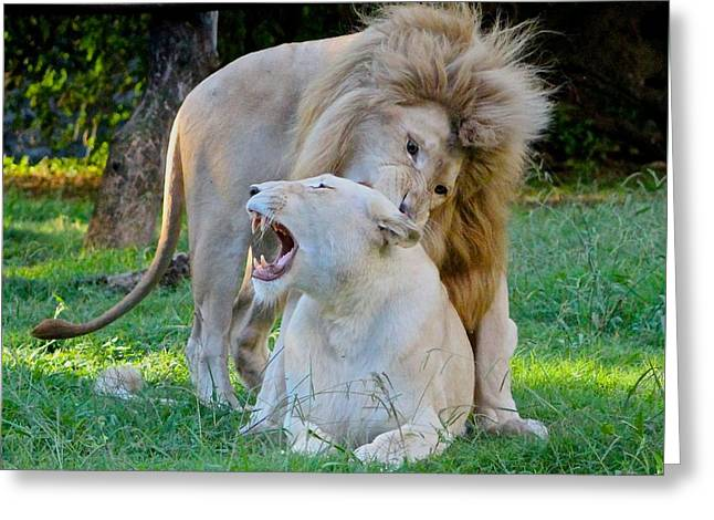 African White Lions Greeting Card