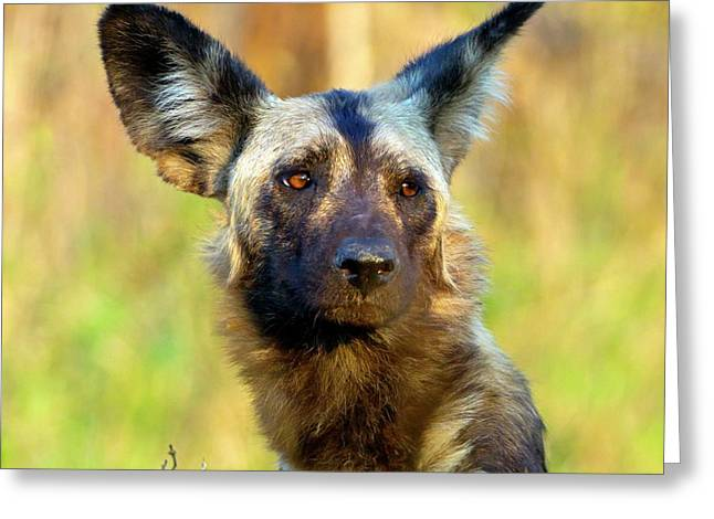 African Wild Dog Greeting Card by Bildagentur-online/mcphoto-schaef
