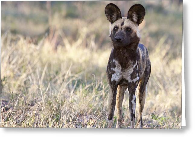 African Wild Dog  Lycaon Pictus Greeting Card by Liz Leyden