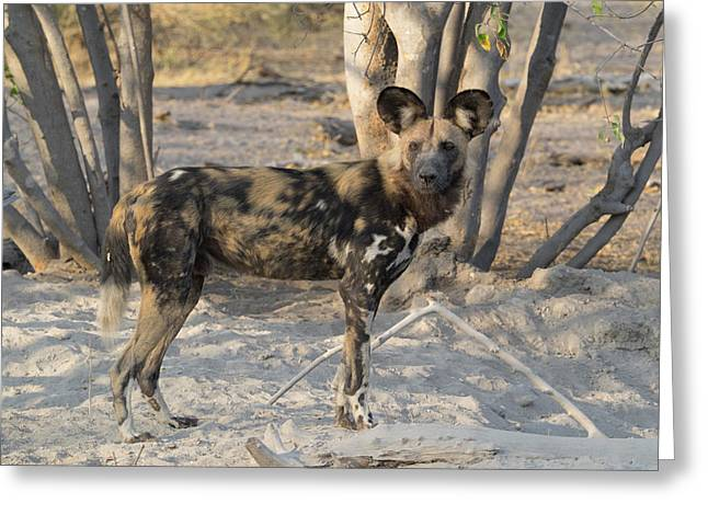 African Wild Dog Lycaon Pictus Standing Greeting Card
