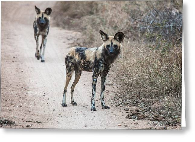 African Wild Dogs Greeting Card by Craig Brown