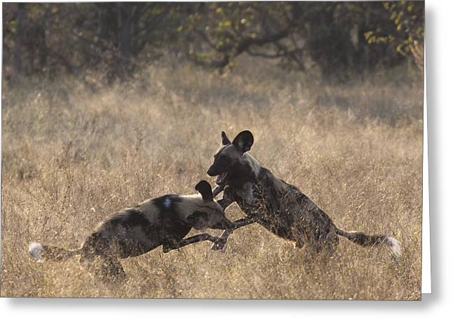 Greeting Card featuring the photograph African Wild Dogs Play-fighting by Liz Leyden