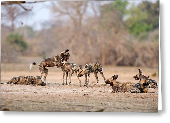 African Wild Dogs Greeting Card