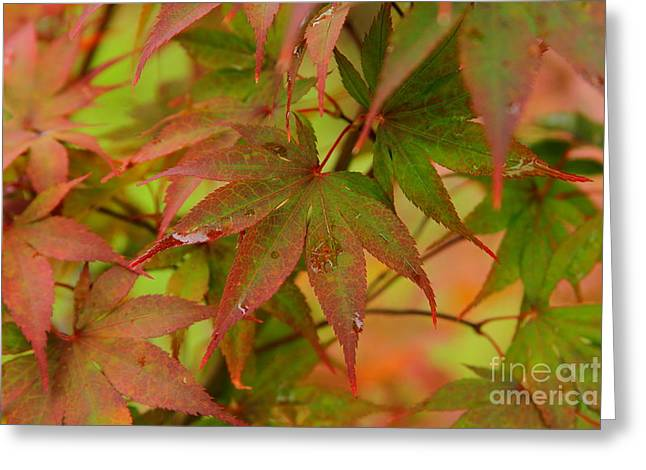 After The Rain Japanese Maple Leaves Greeting Card