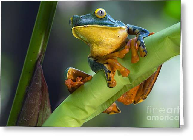 Agalychnis Calcarifer 4 Greeting Card by Arterra Picture Library
