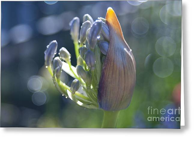 Agapanthus Coming To Life Greeting Card