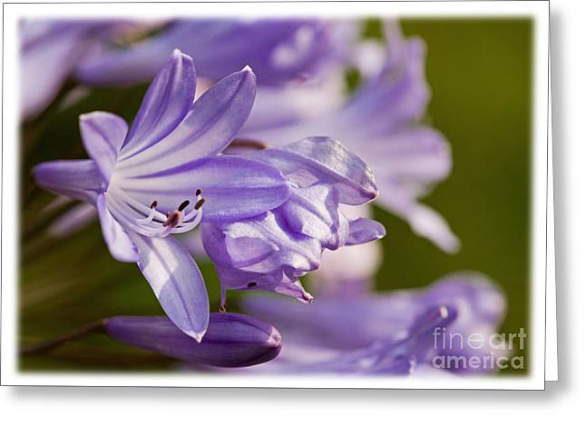 Greeting Card featuring the photograph Agapanthus by Liz  Alderdice