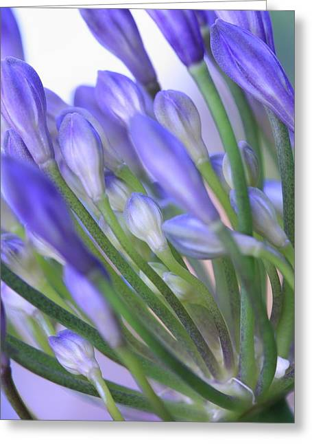 Agapanthus Greeting Card by Rebeka Dove