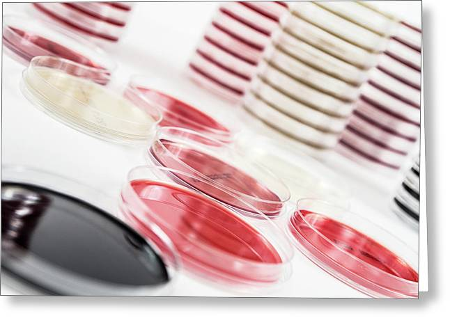 Agar Plates In A Laboratory Greeting Card by Daniela Beckmann