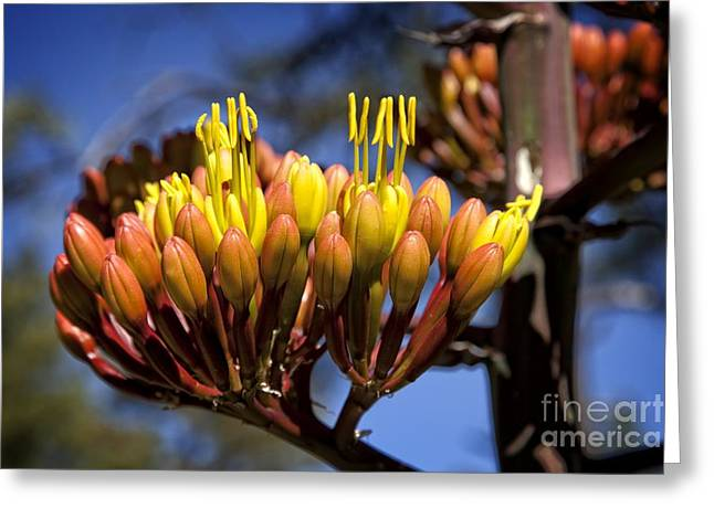 Agave Blooms Greeting Card