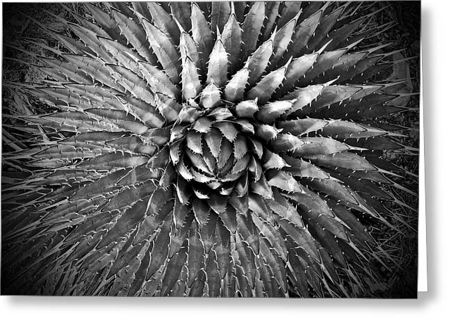 Agave Spikes Black And White Greeting Card