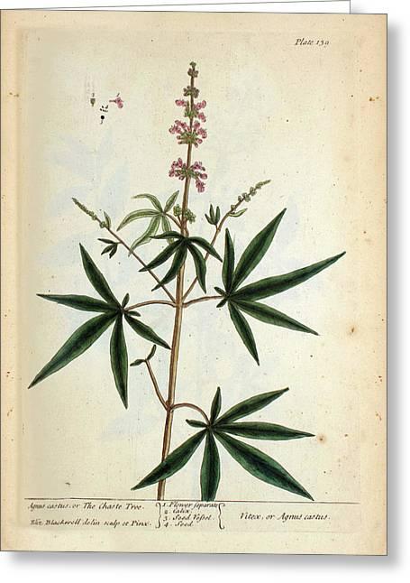 Agnus Castus Plant Greeting Card