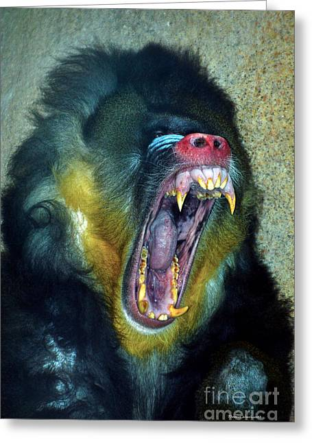 Agressive Mandrill Greeting Card by Thomas Woolworth
