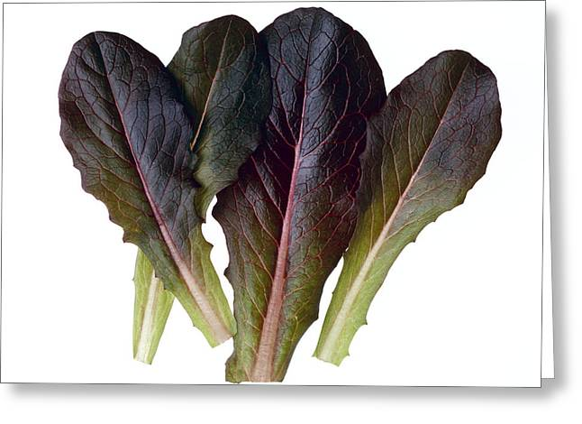 Agriculture - Baby Red Romaine Leaves Greeting Card by Ed Young