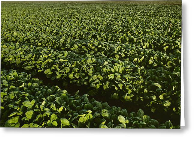 Agriculture - Field Of Healthy Mature Greeting Card by Ed Young