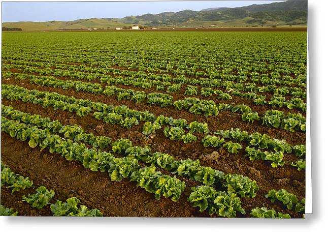 Agriculture - Field Of Healthy Mid Greeting Card by Ed Young