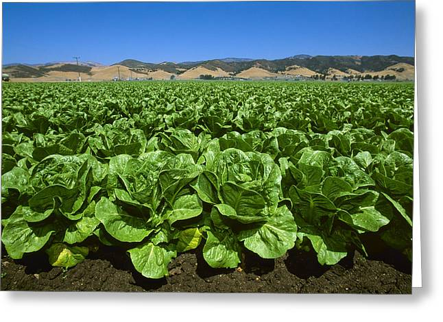 Agriculture - Field Of Romaine Lettuce Greeting Card by John Wigmore