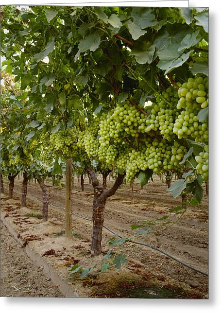 Agriculture - Mature Thompson Seedless Greeting Card