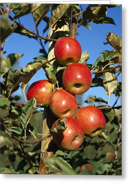 Agriculture - Pink Lady Apples Greeting Card by Gary Holscher
