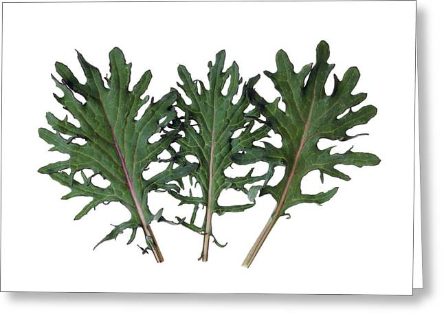 Agriculture - Red Kale Leaves Closeup Greeting Card by Ed Young