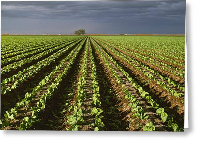 Agriculture - Rows Of Early Growth Greeting Card by Timothy Hearsum