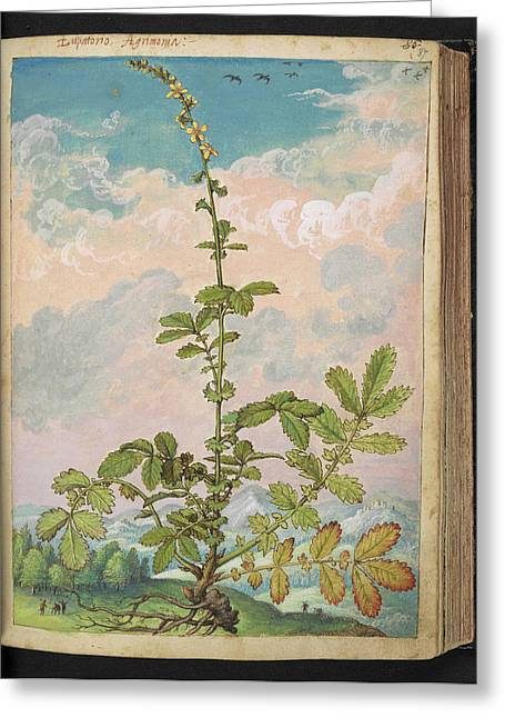 Agrimony (agrimonia Eupatoria) Greeting Card by British Library
