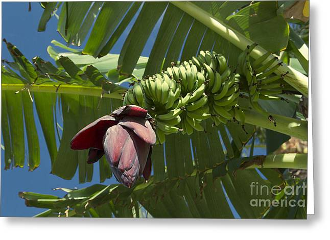 'ahui Mai'a O Wailea - Banana Flower Greeting Card by Sharon Mau