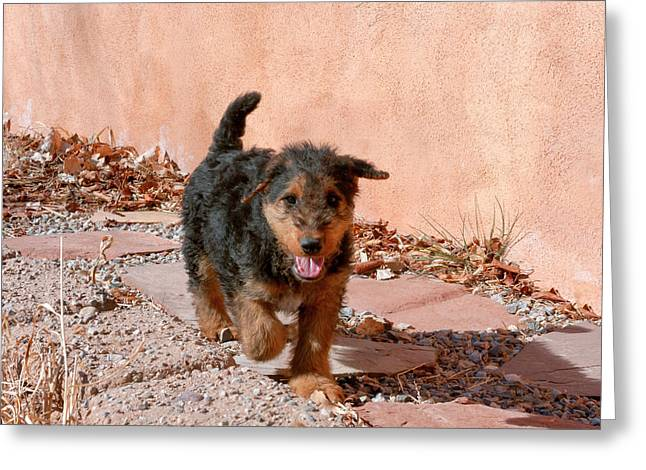 Airedale Puppy Walking On Garden Path Greeting Card by Zandria Muench Beraldo