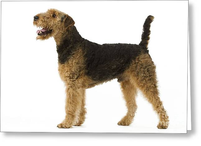 Airedale Terrier Dog Greeting Card by Jean-Michel Labat