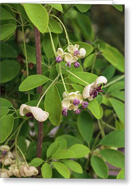 Akebia Quinata - Cream Flowered Greeting Card by Geoff Kidd