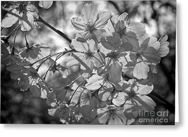 Akebono In Monochrome Greeting Card by Peggy Hughes