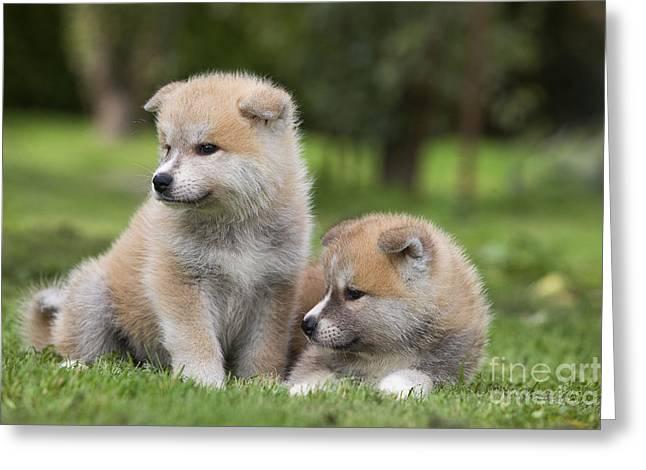 Akita Inu Puppy Dogs Greeting Card