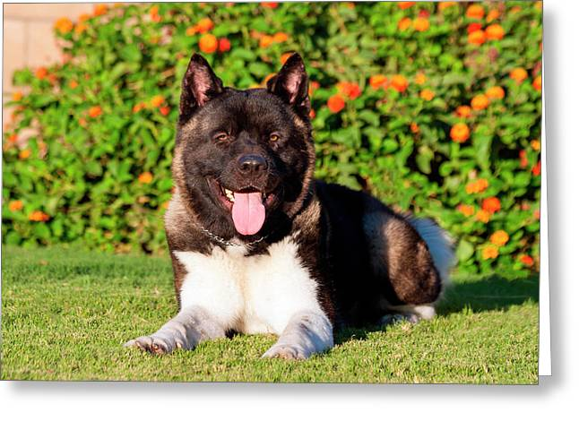 Akita Looking Greeting Card