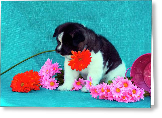 Akita Puppy With Flowers (mr & Pr Greeting Card