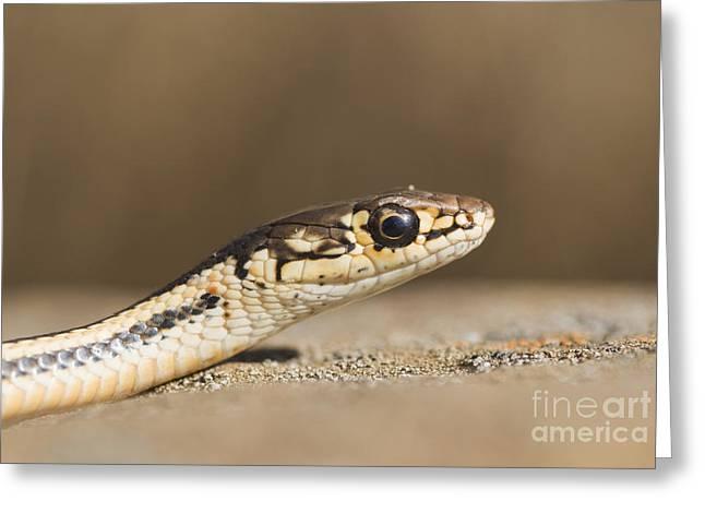 Alameda Whipsnake Greeting Card