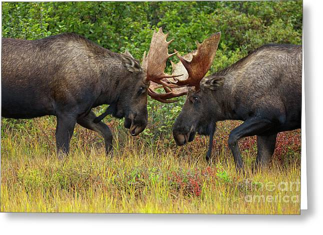 Alaska Moose Bulls Sparring Denali N P Greeting Card