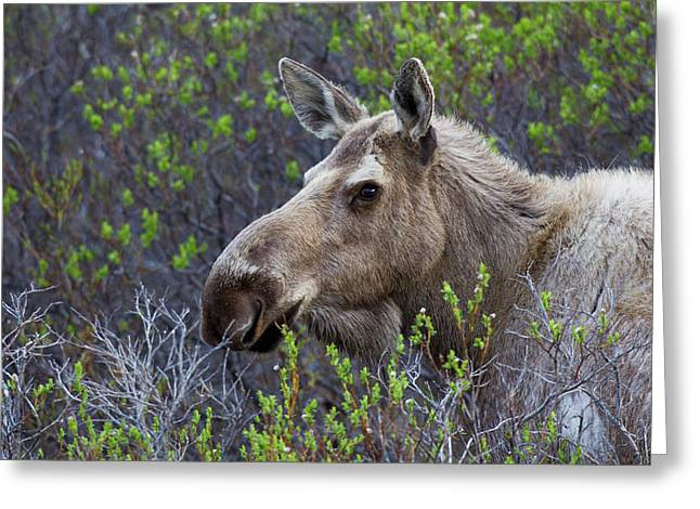Alaskan Cow Moose Greeting Card