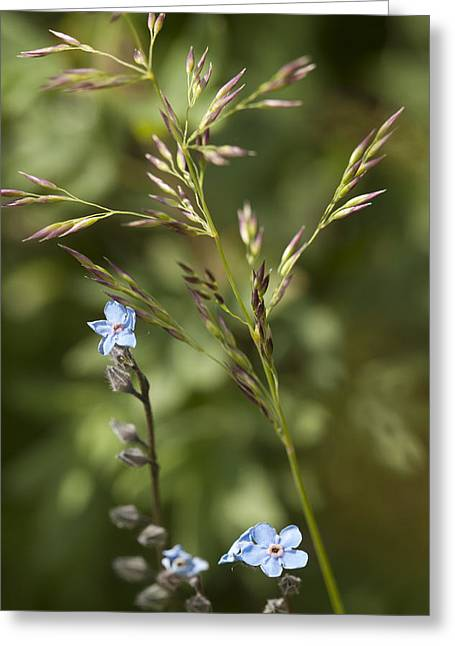 Alaskan Forget-me-nots Greeting Card