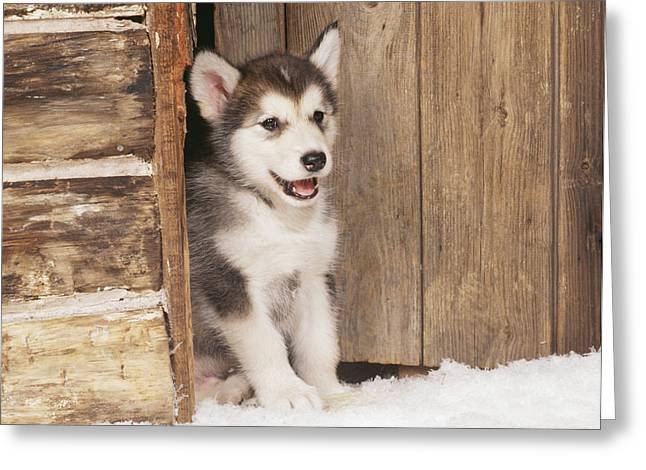 Alaskan Malamute Puppy Greeting Card