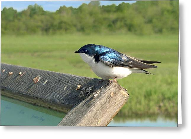 Alaskan Swallow Greeting Card by Dan Redmon