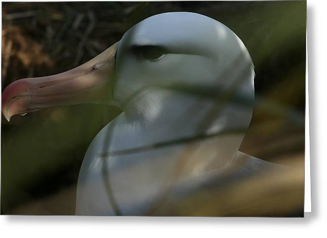 Greeting Card featuring the photograph Albatross by Amanda Stadther