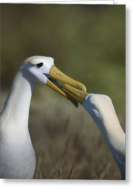 Albatross Courtship Greeting Card by Richard Berry