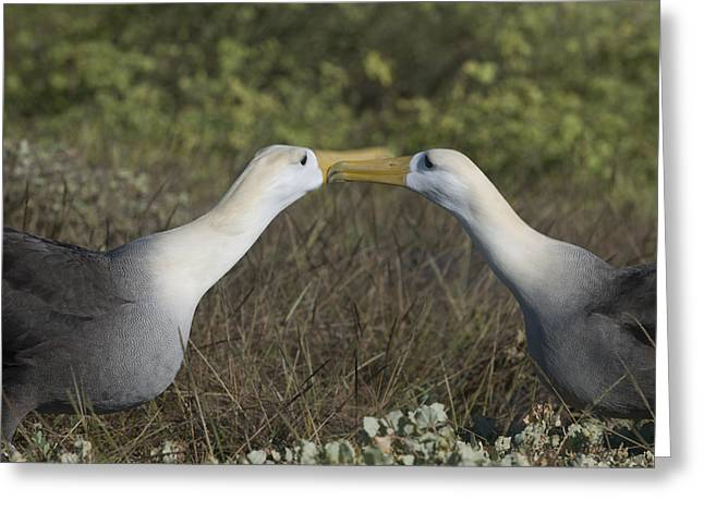 Albatross Perform Courtship Ritual Greeting Card by Richard Berry