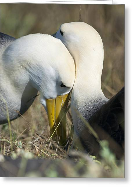 Albatrosses Snuggle Greeting Card by Richard Berry