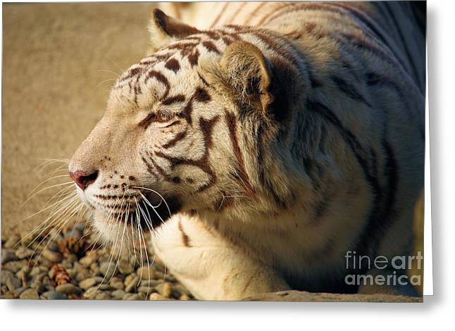 Albino At Rest Greeting Card by Adam Jewell